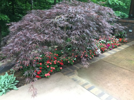 Weeping Japanese maple with Impatiens planted underneath